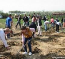 Plantări de stejari la Turţ