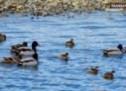 APM începe acțiune de numărătoare de iarnă a păsărilor acvatice