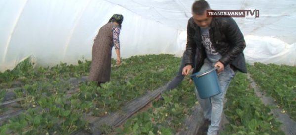 Căpșunii de Satu Mare vor ajunge mai târziu în piețe